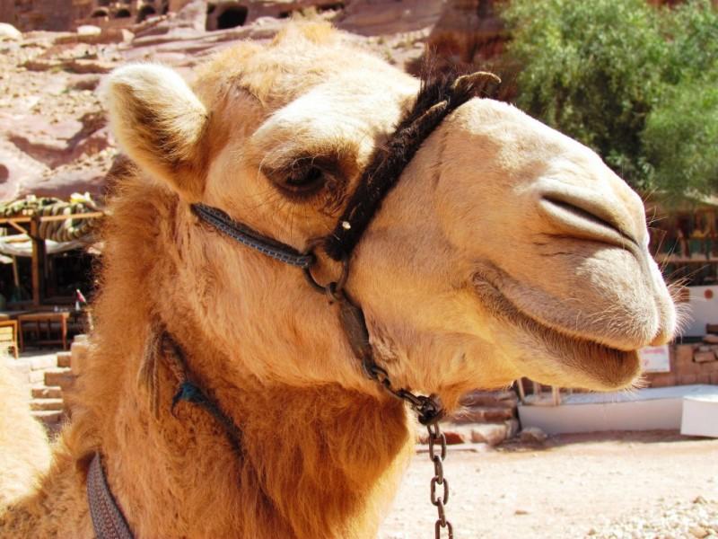 Petra Tours Jordan Camel