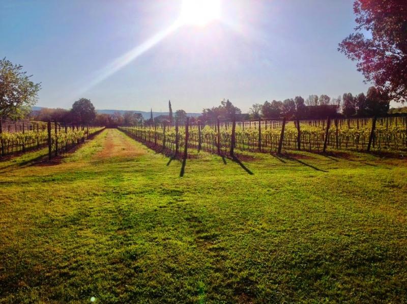 vineyard-Valpolicella